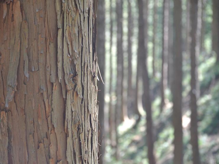 ひのきの森